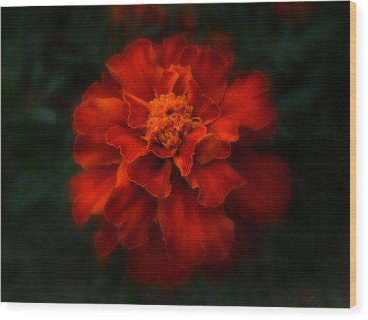 Blazing Marigold Wood Print