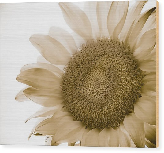 Bleached Sunflower Wood Print