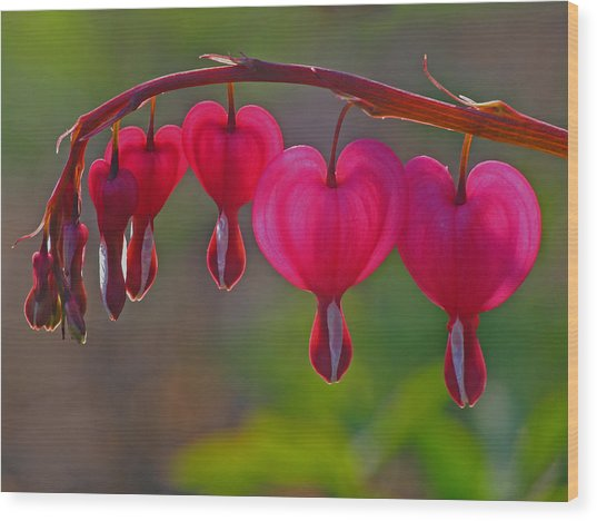 Bleeding Heart Wood Print