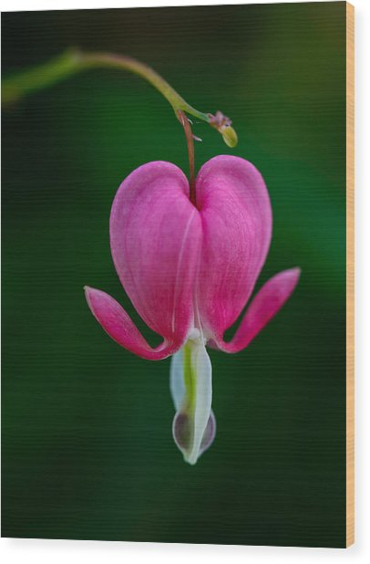 Bleeding Heart Wood Print