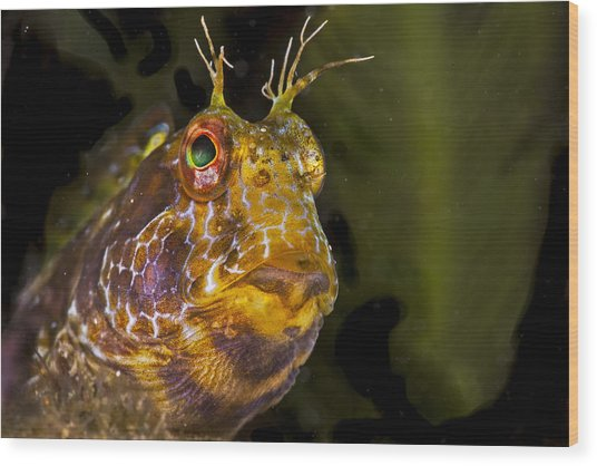 Blenny In Deep Thought Wood Print