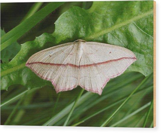 Blood Vein Moth Wood Print