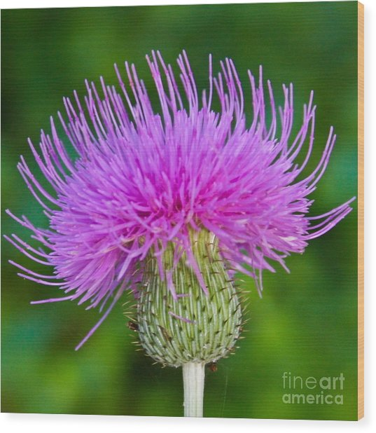 Blooming Common Thistle Wood Print