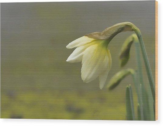 Blooming Daffodils Wood Print