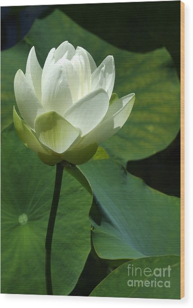Blooming White Lotus Wood Print