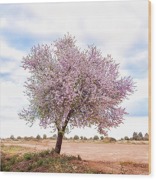 Blossoming Pink Almond Tree Prunus Wood Print by Maika 777