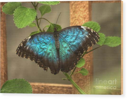 Wood Print featuring the photograph Blue And Black Butterfly by Jeremy Hayden