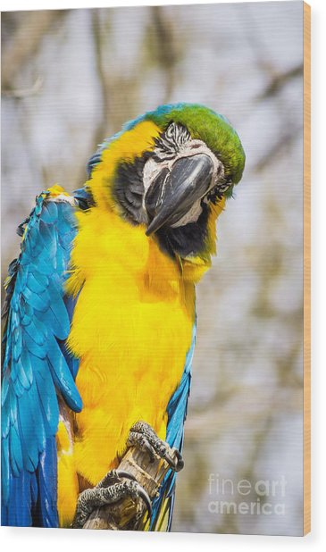 Blue And Gold Macaw Parrot Wood Print