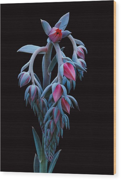 Blue And Pink Succulent Wood Print