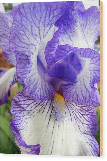 Blue And White Iris Closeup Wood Print by Virginia Forbes