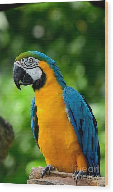 Blue And Yellow Gold Macaw Parrot Wood Print