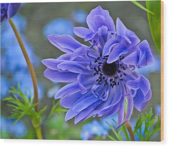 Blue Anemone Flower Blowing In The Wind Wood Print