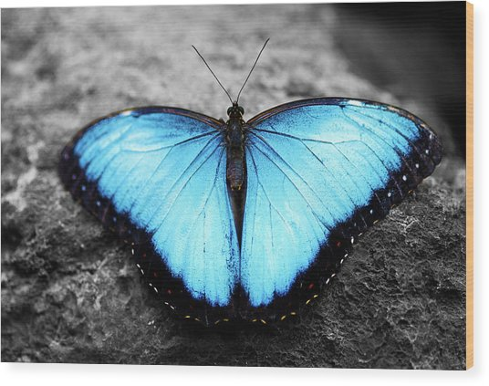 Blue Angel Butterfly 2 Wood Print