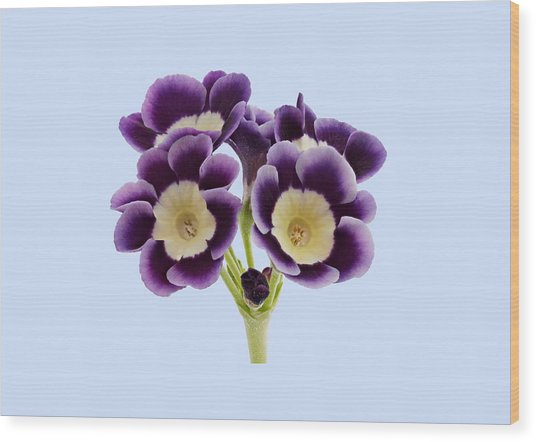 Wood Print featuring the photograph Blue Auricula On A Blue Background by Paul Gulliver