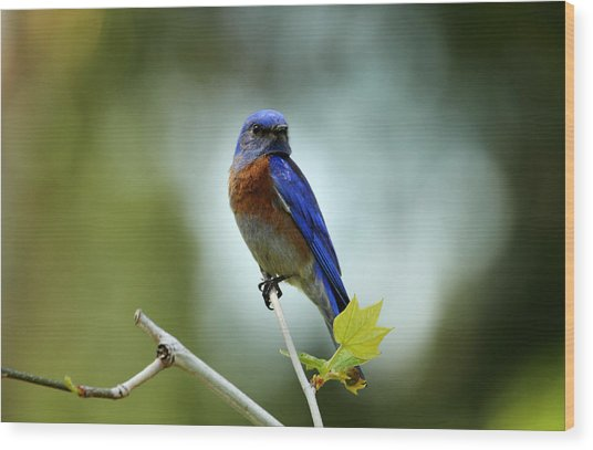 Blue Bird Halo Wood Print by Darrin Aldridge