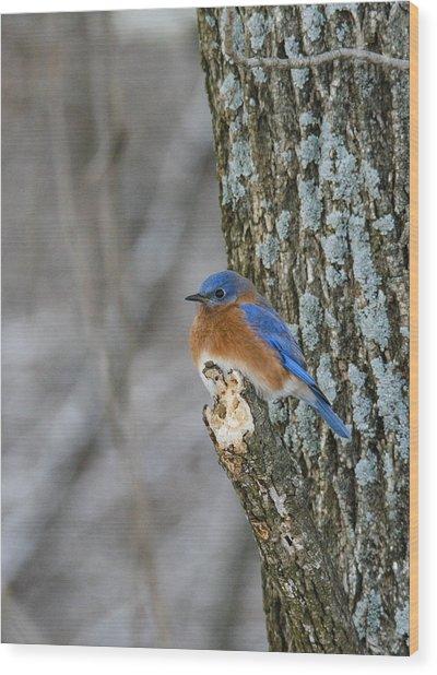 Blue Bird In Winter Wood Print by Jill Bell