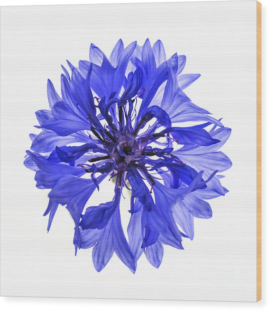 Blue Cornflower Flower Wood Print