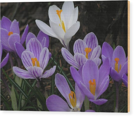 Blue Crocus Wood Print