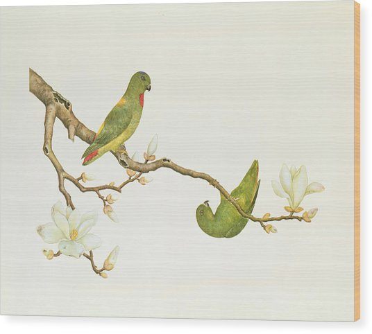 Blue Crowned Parakeet Hannging On A Magnolia Branch Wood Print