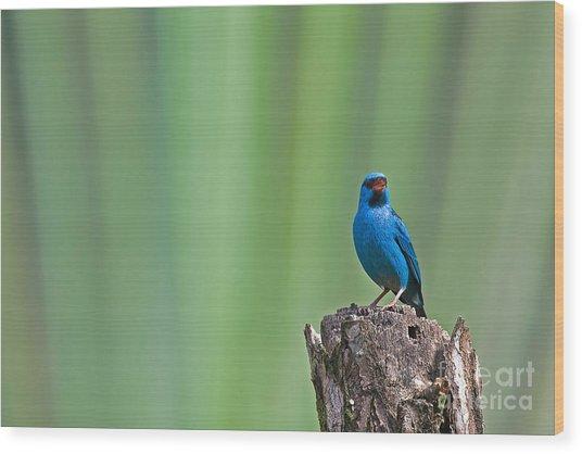 Blue Dacnis Wood Print