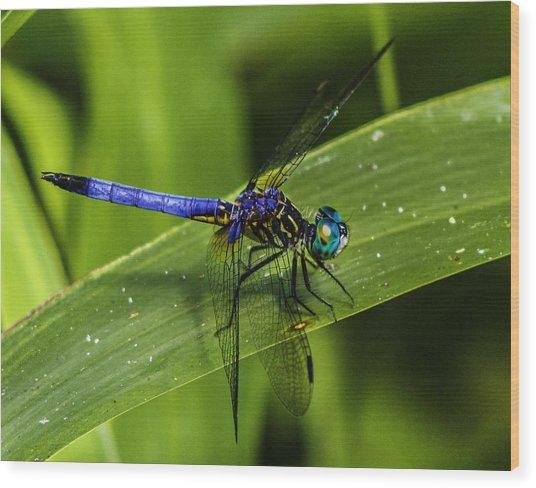 Blue Dasher Wood Print