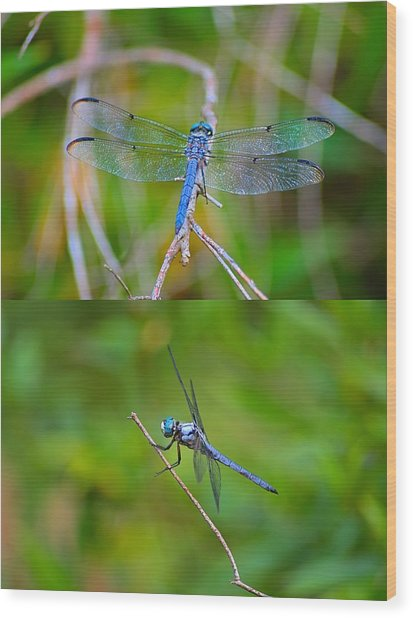 Blue Dragon Fly Wood Print