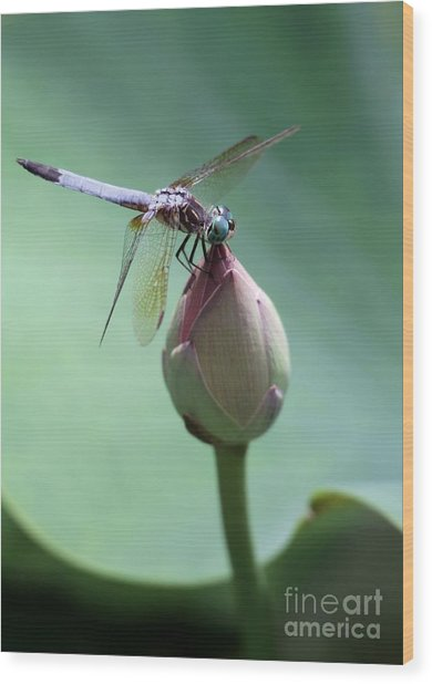 Blue Dragonflies Love Lotus Buds Wood Print