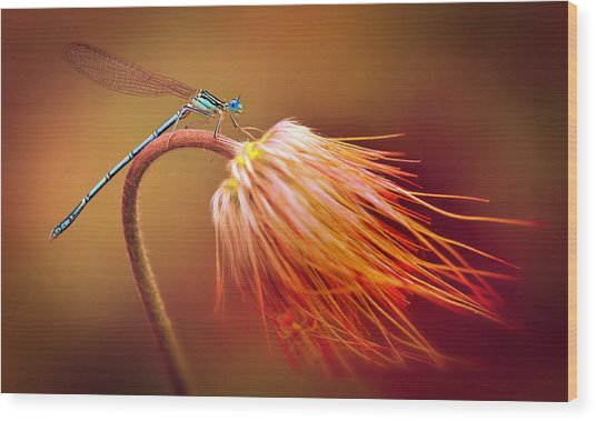 Blue Dragonfly On A Dry Flower Wood Print