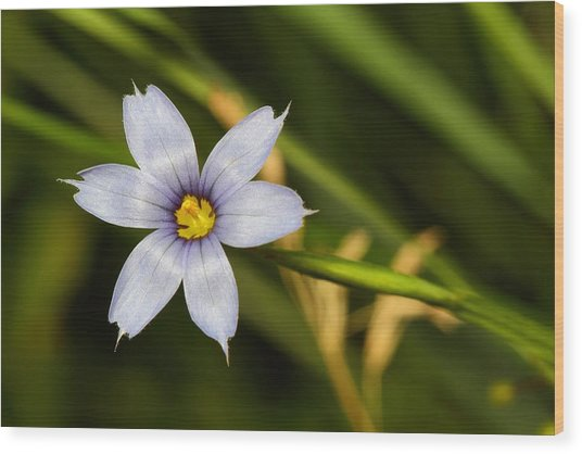 Blue Eyed Grass Wood Print by Mike Farslow