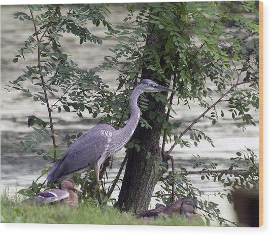 Blue Heron And Duck Wood Print