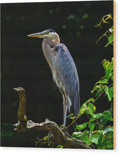 Blue Heron Majestic Pose Wood Print