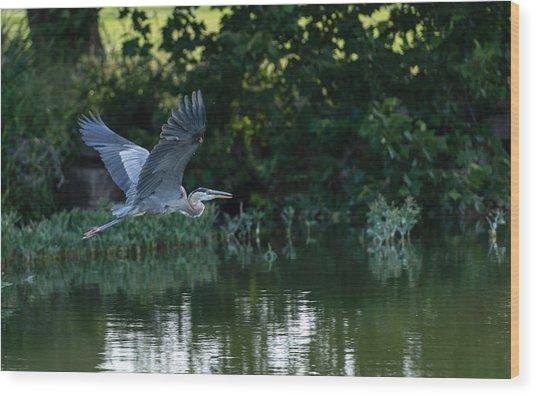 Blue Heron Take-off Wood Print
