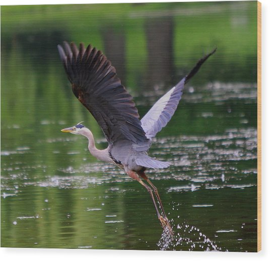 Blue Heron Takeing Off Wood Print by Edward Kocienski