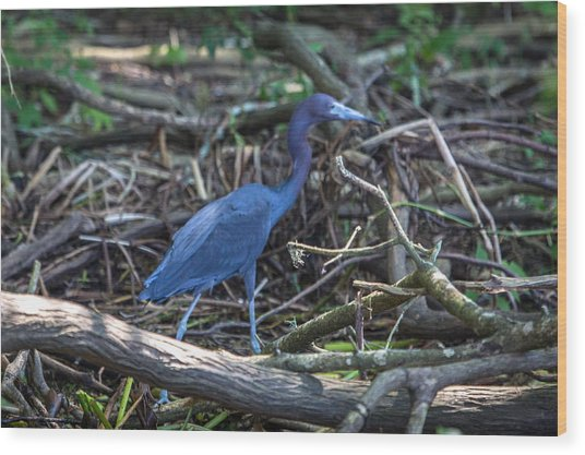 Little Blue Heron On The Banks Of An Atchafalya Bayou Wood Print