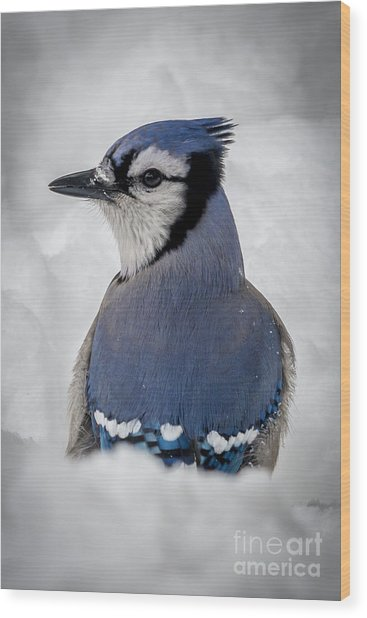 Blue Jay Alert Wood Print