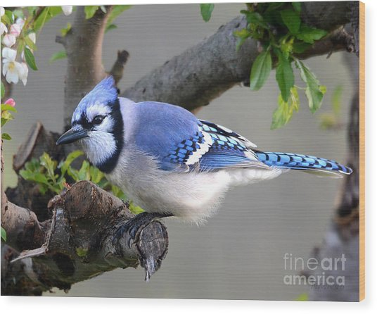 Blue Jay Beauty Wood Print