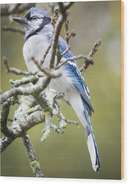 Blue Jay In The Rain Wood Print