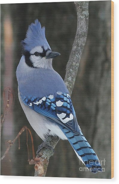 Blue Jay Winter Wood Print