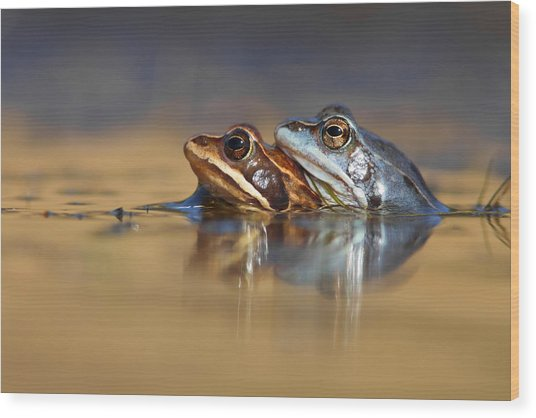 Blue Love ... Mating Moor Frogs  Wood Print