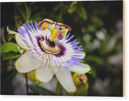 Blue Passion Flower Wood Print
