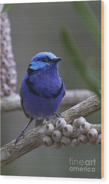 Blue Splendid Wren Wood Print
