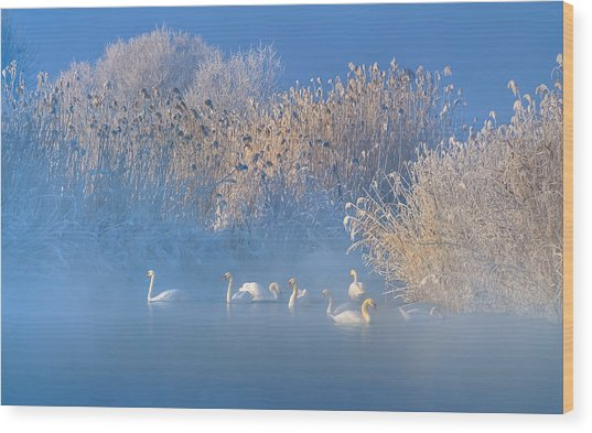Blue Swan Lake Wood Print