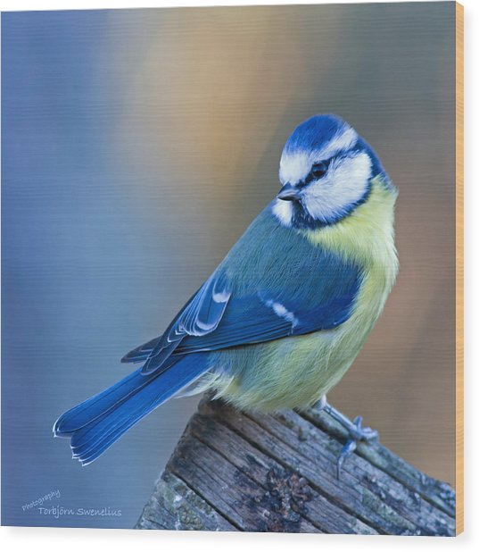 Blue Tit Looking Behind Wood Print