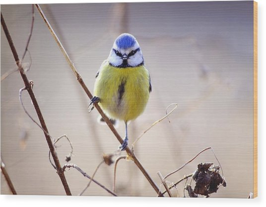 Blue Tit Wood Print by Science Photo Library