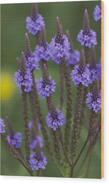 Blue Vervain Wood Print