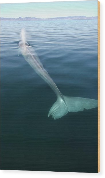 Blue Whale Surfacing Wood Print by Christopher Swann/science Photo Library