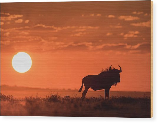 Blue Wildebeest At Dusk Wood Print by Tony Camacho/science Photo Library