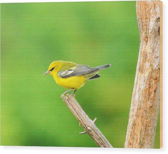 Blue-winged Warbler Wood Print by Judy Genovese