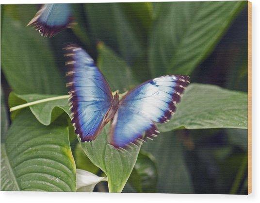Blue Wings Wood Print