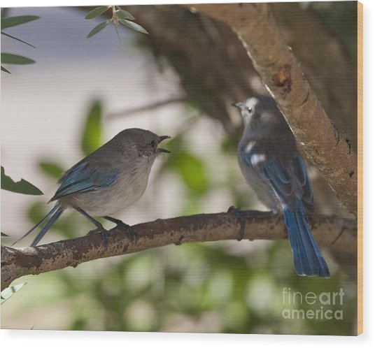 Blue Wrens 1 Wood Print